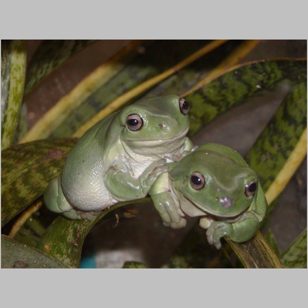Robert's Tree Frogs